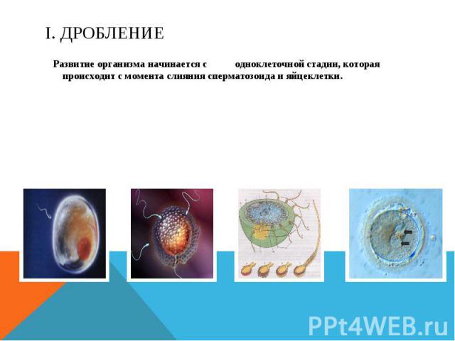 I. Дробление Развитие организма начинается с одноклеточной стадии, которая происходит с момента слияния сперматозоида и яйцеклетки.