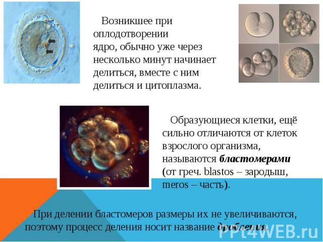 Возникшее при оплодотворении ядро, обычно уже через несколько минут начинает делиться, вместе с ним делиться и цитоплазма. Образующиеся клетки, ещё сильно отличаются от клеток взрослого организма, называются бластомерами (от греч. blastos – зародыш,…
