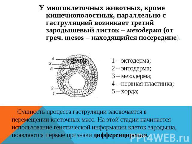 У многоклеточных животных, кроме кишечнополостных, параллельно с гаструляцией возникает третий зародышевый листок – мезодерма (от греч. mesos – находящийся посередине). 1 – эктодерма; 2 – энтодерма; 3 – мезодерма; 4 – нервная пластинка; 5 – хорда; С…