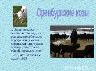 Оренбургские козы .. .Здешние козы составляют не вид, не род, а разве небольшое