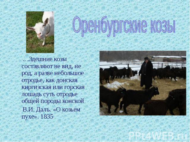 Оренбургские козы .. .Здешние козы составляют не вид, не род, а разве небольшое отродье, как донская киргизская или горская лошадь суть отродье общей породы конской В.И. Далъ. «О козьем пухе». 1835
