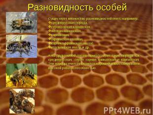 Разновидность особей Существует множество разновидностей пчел, например: среднер