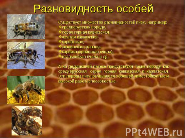 Разновидность особей Существует множество разновидностей пчел, например: среднерусская порода, серая горная кавказская, желтая кавказская, карпатская, украинская степная, карника (краинская пчела), итальянская пчела и др. А на дедушкиной пасеке прис…