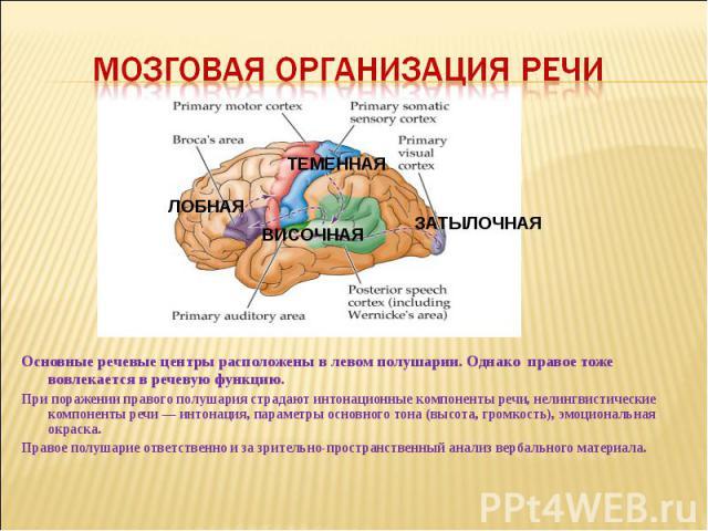 Мозговая организация речи Основные речевые центры расположены в левом полушарии. Однако правое тоже вовлекается в речевую функцию. При поражении правого полушария страдают интонационные компоненты речи, нелингвистические компоненты речи — интонация,…