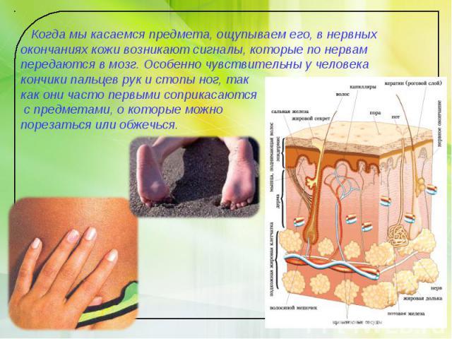 Когда мы касаемся предмета, ощупываем его, в нервных окончаниях кожи возникают сигналы, которые по нервам передаются в мозг. Особенно чувствительны у человека кончики пальцев рук и стопы ног, так как они часто первыми соприкасаются с предметами, о к…