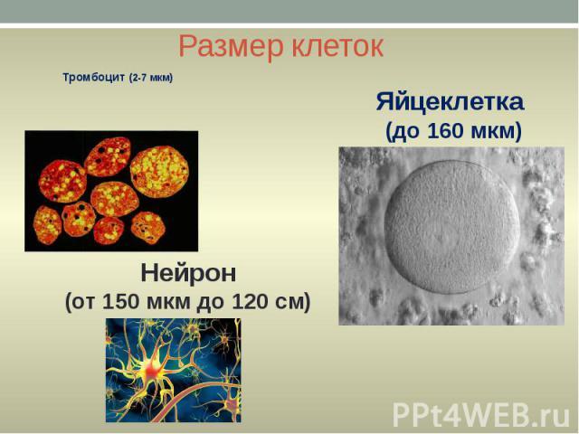 Размер клеток Тромбоцит (2-7 мкм)