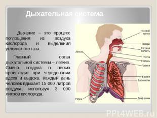 Дыхательная система Дыхание – это процесс поглощения из воздуха кислорода и выде