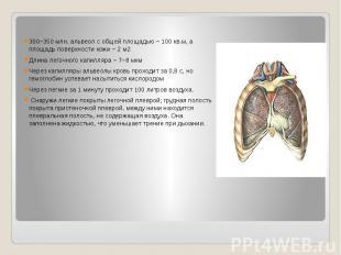 300–350 млн. альвеол с общей площадью – 100 кв.м, а площадь поверхности кожи – 2