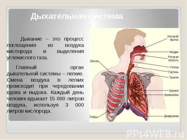 Дыхательная система Дыхание – это процесс поглощения из воздуха кислорода и выделения углекислого газа. Главный орган дыхательной системы – легкие. Смена воздуха в легких происходит при чередовании вдоха и выдоха. Каждый день человек вдыхает 15 000 …