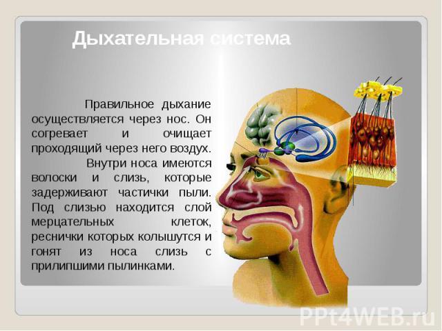 Дыхательная система Правильное дыхание осуществляется через нос. Он согревает и очищает проходящий через него воздух. Внутри носа имеются волоски и слизь, которые задерживают частички пыли. Под слизью находится слой мерцательных клеток, реснички кот…