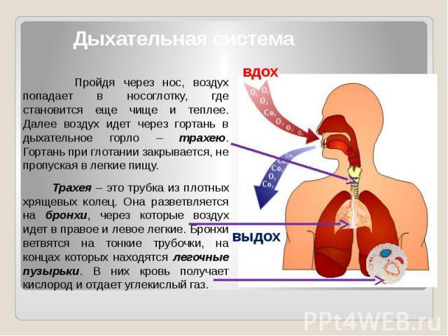 Дыхательная система Пройдя через нос, воздух попадает в носоглотку, где становится еще чище и теплее. Далее воздух идет через гортань в дыхательное горло – трахею. Гортань при глотании закрывается, не пропуская в легкие пищу. Трахея – это трубка из …