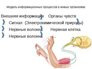 Модель информационных процессов в живых организмах Внешняя информация Органы чув