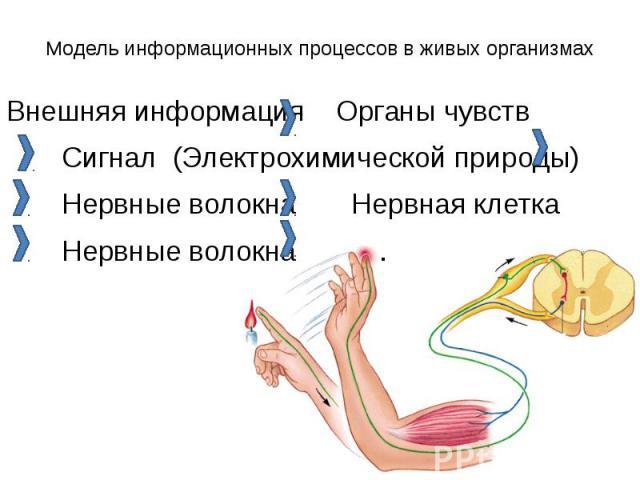Модель информационных процессов в живых организмах Внешняя информация Органы чувств Сигнал (Электрохимической природы) Нервные волокна Нервная клетка Нервные волокна ….