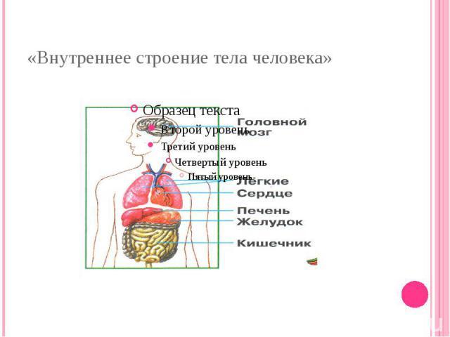 «Внутреннее строение тела человека»