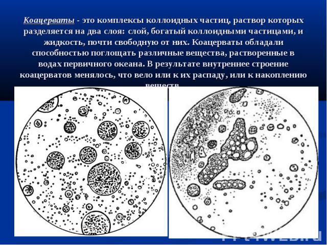 Коацерваты - это комплексы коллоидных частиц, раствор которых разделяется на два слоя: слой, богатый коллоидными частицами, и жидкость, почти свободную от них. Коацерваты обладали способностью поглощать различные вещества, растворенные в водах перви…