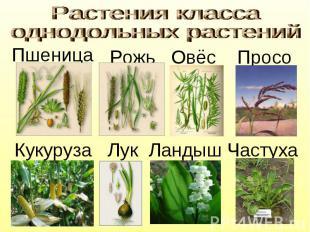 Растения класса однодольных растений