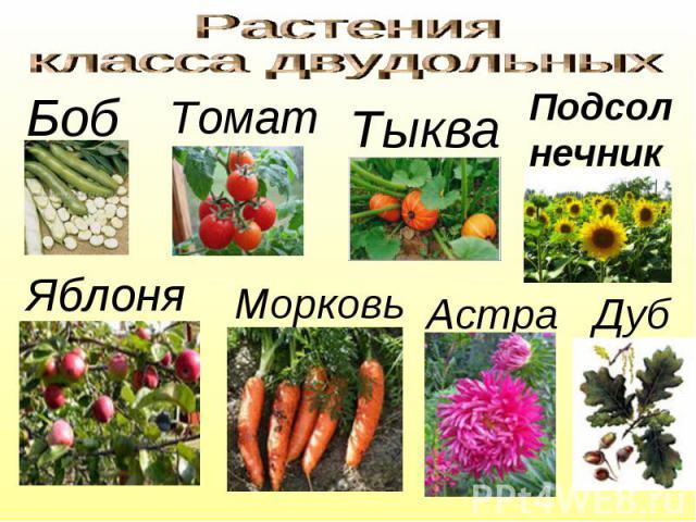 Растения класса двудольных