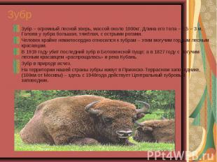Зубр – огромный лесной зверь, массой около 1000кг. Длина его тела – 2,5 – 3 м. Г
