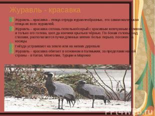Журавль – красавка – птица отряда журавлеобразных, это самая маленькая птица их
