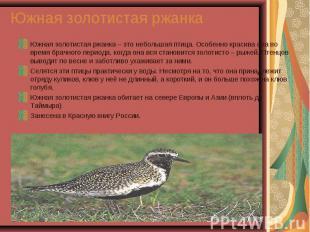 Южная золотистая ржанка – это небольшая птица. Особенно красива она во время бра