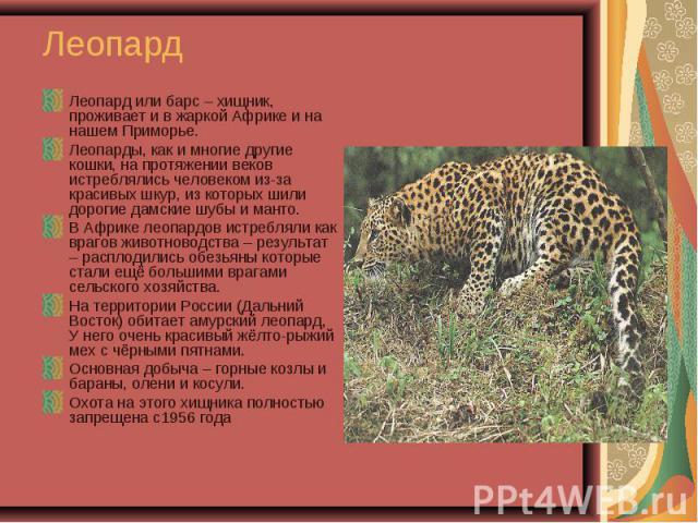 Леопард или барс – хищник, проживает и в жаркой Африке и на нашем Приморье. Леопард или барс – хищник, проживает и в жаркой Африке и на нашем Приморье. Леопарды, как и многие другие кошки, на протяжении веков истреблялись человеком из-за красивых шк…