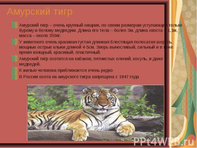 Амурский тигр – очень крупный хищник, по своим размерам уступающий только бурому и белому медведям. Длина его тела – более 3м, длина хвоста – 1,1м, масса – около 350кг. Амурский тигр – очень крупный хищник, по своим размерам уступающий только бурому…