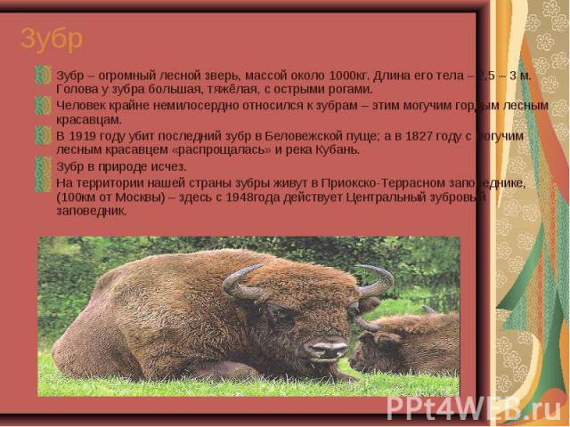 Зубр – огромный лесной зверь, массой около 1000кг. Длина его тела – 2,5 – 3 м. Голова у зубра большая, тяжёлая, с острыми рогами. Зубр – огромный лесной зверь, массой около 1000кг. Длина его тела – 2,5 – 3 м. Голова у зубра большая, тяжёлая, с остры…