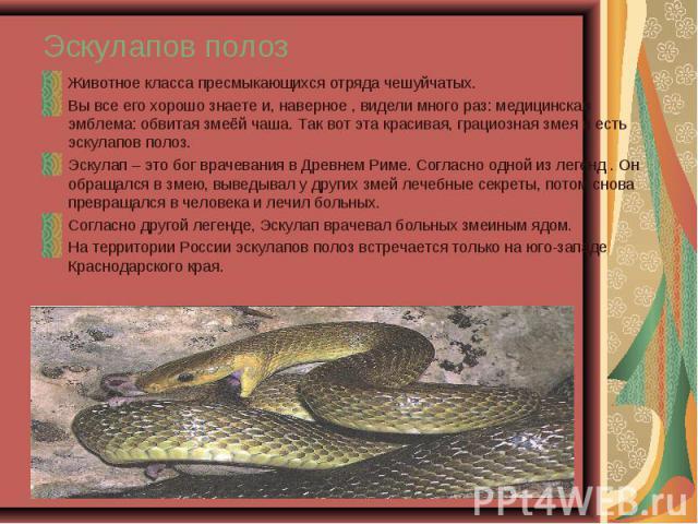 Животное класса пресмыкающихся отряда чешуйчатых. Животное класса пресмыкающихся отряда чешуйчатых. Вы все его хорошо знаете и, наверное , видели много раз: медицинская эмблема: обвитая змеёй чаша. Так вот эта красивая, грациозная змея и есть эскула…