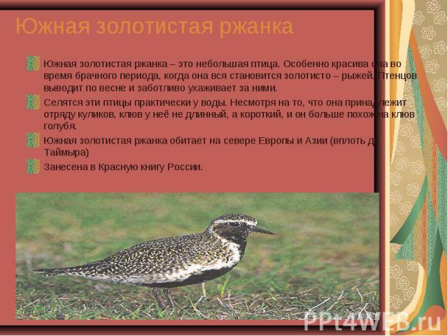 Южная золотистая ржанка – это небольшая птица. Особенно красива она во время брачного периода, когда она вся становится золотисто – рыжей. Птенцов выводит по весне и заботливо ухаживает за ними. Южная золотистая ржанка – это небольшая птица. Особенн…
