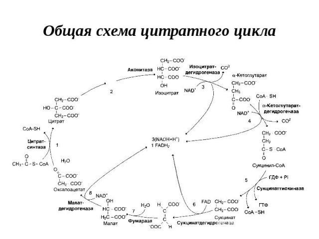 Общая схема цитратного цикла