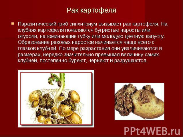 Рак картофеля Паразитический гриб синхитриум вызывает рак картофеля. На клубнях картофеля появляются бугристые наросты или опухоли, напоминающие губку или молодую цветную капусту. Образование раковых наростов начинается чаще всего с глазков клубней.…