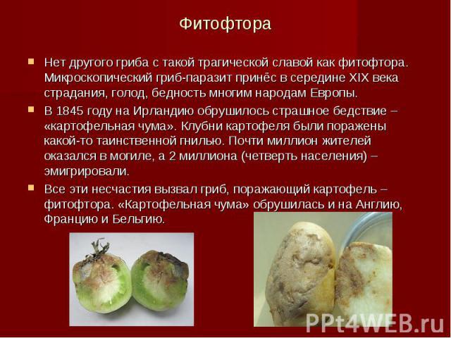 Фитофтора Нет другого гриба с такой трагической славой как фитофтора. Микроскопический гриб-паразит принёс в середине XIX века страдания, голод, бедность многим народам Европы. В 1845 году на Ирландию обрушилось страшное бедствие – «картофельная чум…