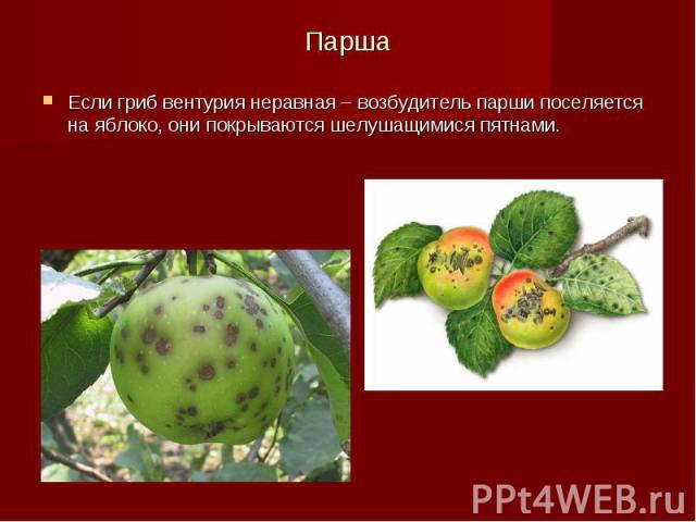 Парша Если гриб вентурия неравная – возбудитель парши поселяется на яблоко, они покрываются шелушащимися пятнами.