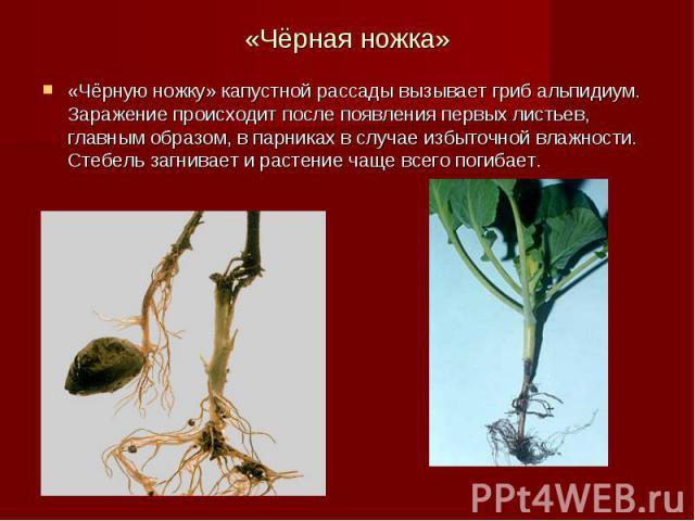 «Чёрная ножка» «Чёрную ножку» капустной рассады вызывает гриб альпидиум. Заражение происходит после появления первых листьев, главным образом, в парниках в случае избыточной влажности. Стебель загнивает и растение чаще всего погибает.