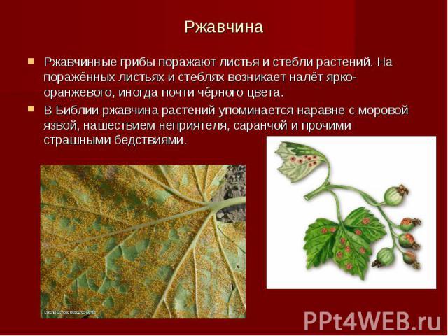 Ржавчина Ржавчинные грибы поражают листья и стебли растений. На поражённых листьях и стеблях возникает налёт ярко-оранжевого, иногда почти чёрного цвета. В Библии ржавчина растений упоминается наравне с моровой язвой, нашествием неприятеля, саранчой…