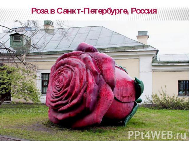 Роза в Санкт-Петербурге, Россия Роза в Санкт-Петербурге, Россия