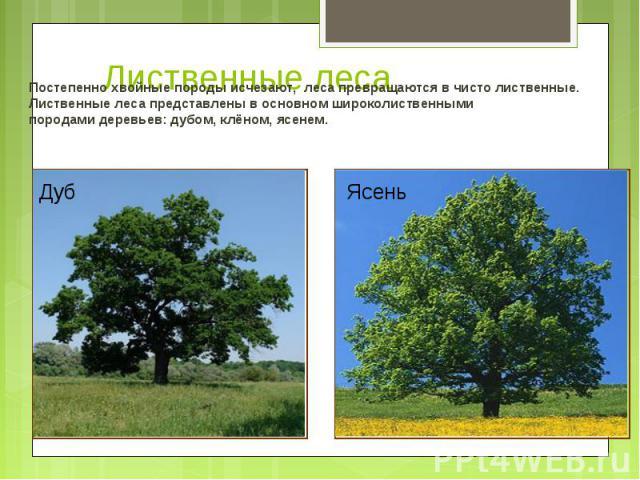 Постепенно хвойные породы исчезают, леса превращаются в чисто лиственные. Постепенно хвойные породы исчезают, леса превращаются в чисто лиственные. Лиственные леса представлены в основном широколиственными породами деревьев: дубом, клёном, ясенем.