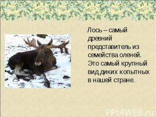 Лось – самый древний представитель из семейства оленей. Это самый крупный вид ди