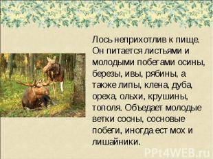 Лось неприхотлив к пище. Он питается листьями и молодыми побегами осины, березы,