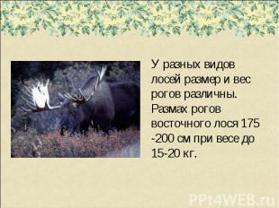 У разных видов лосей размер и вес рогов различны. Размах рогов восточного лося 1