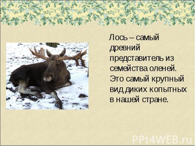 Лось – самый древний представитель из семейства оленей. Это самый крупный вид диких копытных в нашей стране.