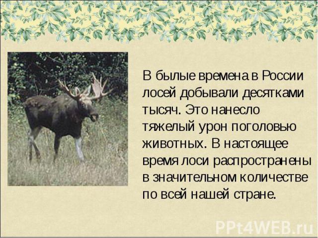 В былые времена в России лосей добывали десятками тысяч. Это нанесло тяжелый урон поголовью животных. В настоящее время лоси распространены в значительном количестве по всей нашей стране.