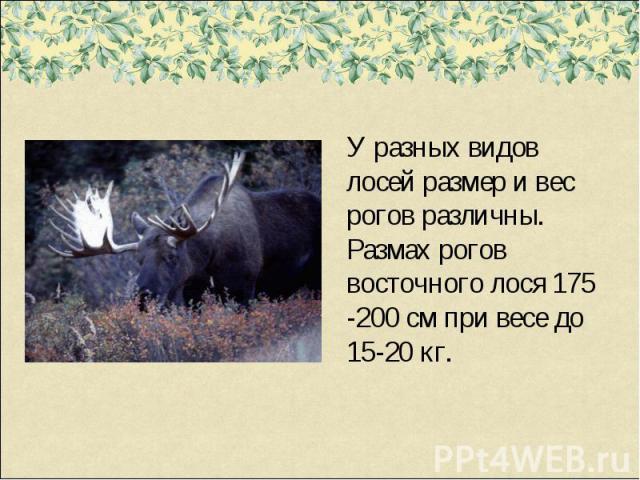 У разных видов лосей размер и вес рогов различны. Размах рогов восточного лося 175 -200 см при весе до 15-20 кг.