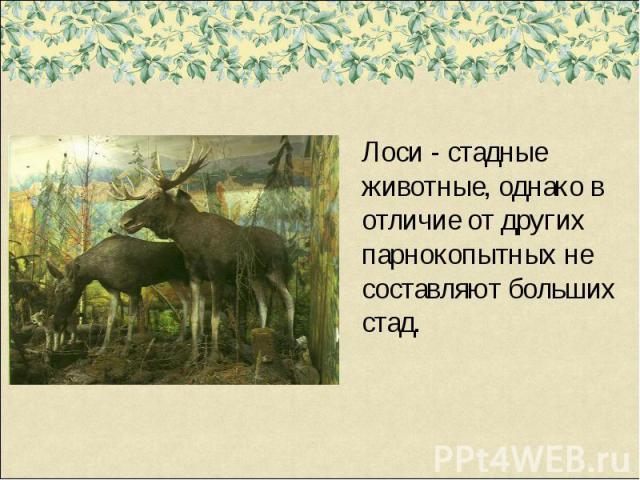 Лоси - стадные животные, однако в отличие от других парнокопытных не составляют больших стад.
