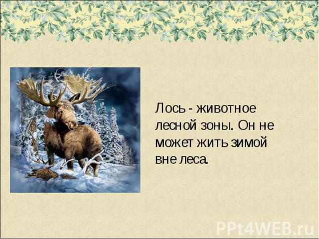 Лось - животное лесной зоны. Он не может жить зимой вне леса.