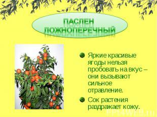ПАСЛЕН ЛОЖНОПЕРЕЧНЫЙЯркие красивые ягоды нельзя пробовать на вкус – они вызывают