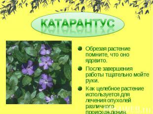 КАТАРАНТУСОбрезая растение помните, что оно ядовито.После завершения работы тщат