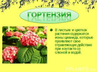 ГОРТЕНЗИЯВ листьях и цветках растения содержатся ионы цианида, которые проявляют