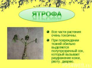 ЯТРОФАВсе части растения очень токсичны.При повреждении тканей обильно выделяетс