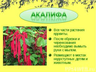 АКАЛИФАВсе части растения ядовиты.После обрезки и черенкования необходимо вымыть